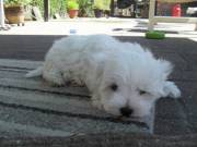 Male And Female Maltese Puppies.