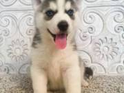 Male and female Siberian Husky puppies available now.Text(916) 347-0810)