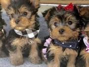 Teacup Yorkie puppies (507) 225-5737 .