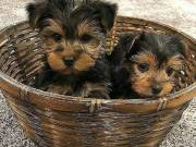 Teacup Yorkie puppies (507) 225-5737