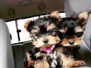 super cute male and female yorkie puppies (956) 294 4193