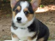 A cute pembroke welsh corgi puppy for sale 2523668230