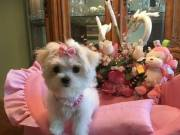 lovely baby maltese for re home 2523668230