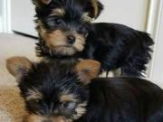 super cute male and female yorkie puppies (909-324-0197