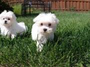 nice Maltese puppy male and female (786) 572-1389