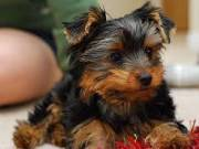 male and female teacup yorkie puppies (956) 294 4193