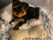 Micro Teacup Yorkie Puppies