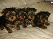 Two beautiful Teacup Yorkie puppies for RE-HOME. They are 10 weeks old. Great pups