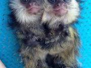 Cute, and Healthy Marmoset Monkeys for adoption  (701) 543-2328