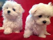 Pure white teacup Maltese puppies for adoption
