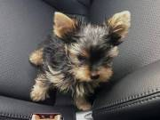 Teacup Yorkie for adoption Text (580) 925-0579