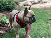 AKC Registered Gorgeous French Bulldog Puppies For Adoption