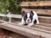 Cute French Bulldogs Puppies For Re-homing