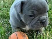 little+French Bulldog!