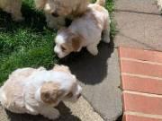 Maltipoo puppies.