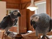 African Grey Parrots for adoption!!(970) 305-5480