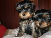 Extremely Charming Teacup yorkie PUPPIES Male & Female(956) 294 4193