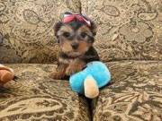 charming yorkie puppies text at (509) 593-8053