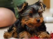 Little Cutie yorkie Pup