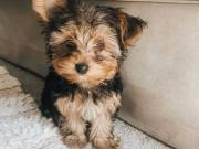 Adorable fluffy Yorkie puppy