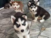 Lovely Home Trained Siberian Husky Puppies for sale