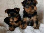 Yorkie Teacup Toy Puppies Available Now