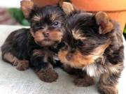 Gorgeous Teacup Yorkie puppies Text or call me at ( 8585) 304 0919