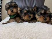 Gorgeous Teacup Yorkie puppies Text or call me at ( 858) 304 0919