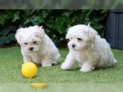 good looking male and female maltese