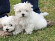 Pure bred small Maltese puppies text/call (786) 572-1389