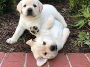 We have two Labrador Retriever pups for re homing (970) 343-8486