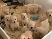 Home Trained AKC Golden Retriever puppies Text Us At (970) 343-8486