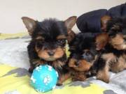 10 weeks,Teacup Yorkie puppies For Adoption