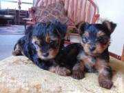 Super Adorable Yorkie Puppies Ready For Adoption TEXT/CALL +1(424)210-7576