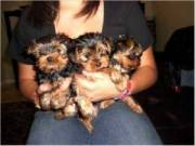 11 week soon, Yorkie puppies available ,They are very affectionate, loving and the perfect size to t