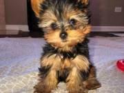 -Charming and adorable T-cup.Yorkshire Terrier. for adoption contact:+1(682)-593-3218