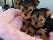 cuta male and female Yorkshire Terrier Puppies  for free Re homing contact:+1(682)-593-3218