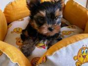 Tinny Yorkshire Terrier Puppies for free Re homing contact:+1(682)-593-3218