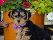 Yorkie puppies Males and Females Available Contact: (865) 424-1179