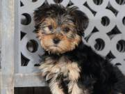 Yorkie puppies  Available Contact: (865) 424-1179