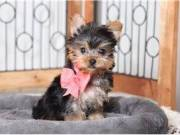 Yorkie puppies Males & Female text at (580) 925-0579