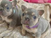 French bulldog puppies female and male for adoption  +1(616) 606-0359
