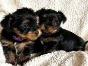 Extremely beautiful yorkie puppies male & female for sale.(920) 306-2703‬