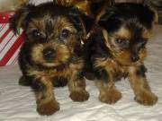 Adorable Yorkie puppies available TEXT(336) 999-0372