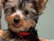 Gorgeous Male Akc Reg Yorkshire Terrier Puppy For Re-home.