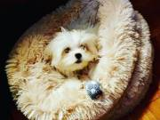 Gorgeous Snow-white Male AKC Registered Maltese Puppy