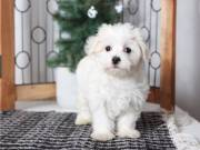 Pure White Maltese Ready for New Home contact me (863) 697-5517