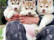 males & Female husky Puppies for sale