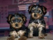 excellent tea cup Yorkie puppies available