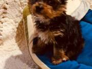 Email;; Poppieshome17@gmail.com  Potty trained teacup yorkie puppies for adoption